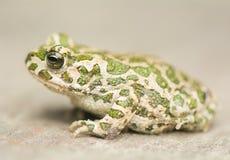 Toad - Bufotes viridis Royalty Free Stock Images