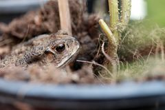 Toad buried in the soil. it is a tailless amphibian with a short stout body. Royalty Free Stock Photos