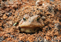 Toad burying itself Royalty Free Stock Photography