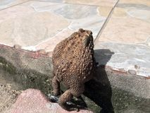 Toad climbing on the step of floor. it is a tailless amphibian with a short stout body and short legs. Royalty Free Stock Photos