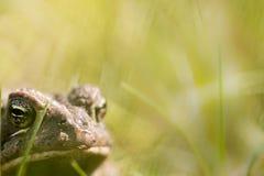 Toad close up Royalty Free Stock Photos