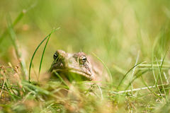 Toad close up Stock Photo