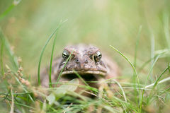 Toad close up Stock Image