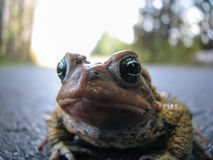 Toad Close-up Royalty Free Stock Image