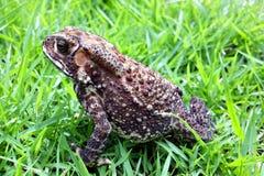 Toad close up Stock Photos