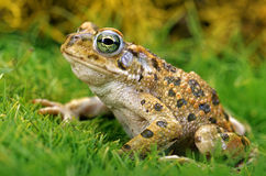 Toad. Stock Photos