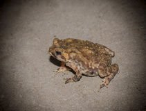 Toad on concrete floor Royalty Free Stock Photo