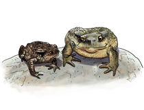 Toad couple comparison Royalty Free Stock Images