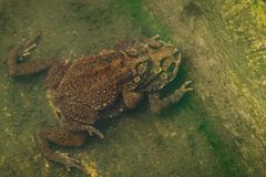 Toad couple  in water breeding toad making eggs in water Stock Photo