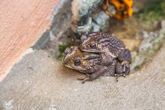 Toad couple  in water breeding toad making eggs in water Royalty Free Stock Image