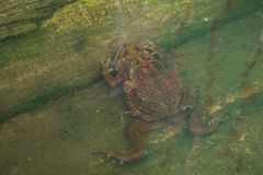 Toad couple  in water breeding toad making eggs in water Stock Images
