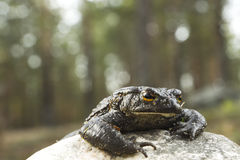 Toad crawls out of the stone in the forest, the Stock Photo