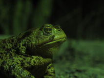 Toad Royalty Free Stock Photo