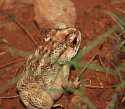 Toad. Deep thinking toad in nature Stock Photo