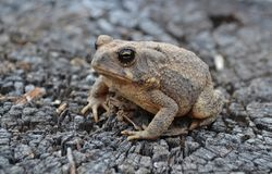 Sandy Toad Royalty Free Stock Image