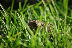 Toad Eye. A warted Toad sitting in green grass Royalty Free Stock Photos