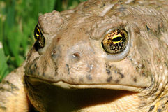 Free Toad Eyes Royalty Free Stock Photo - 5524875