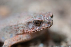 Toad Eyes Stock Images