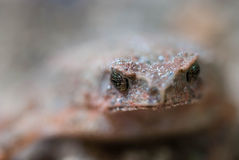 Toad Eyes Stock Photography