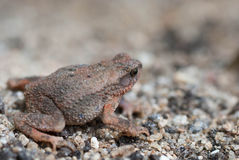 Toad Eyes Stock Image