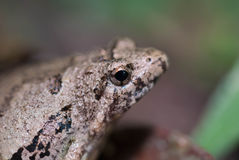 Toad Eyes Royalty Free Stock Photo