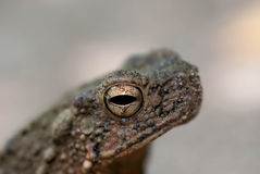 Toad Eyes Royalty Free Stock Photos