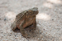 Toad Eyes Royalty Free Stock Image