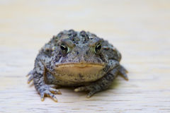 Toad Face Stock Photo