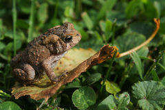 Toad on Fallen Leaf Stock Image