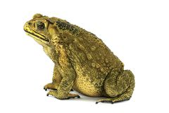 Toad female on white background Royalty Free Stock Photography