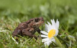 Toad and flower Stock Image