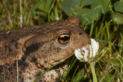 Toad and flower Royalty Free Stock Images