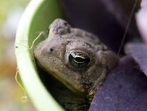 Toad in a flower pot Royalty Free Stock Photography