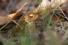 Toad in foliage Stock Photography
