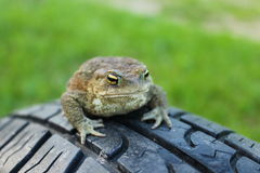 Toad, frog Royalty Free Stock Images
