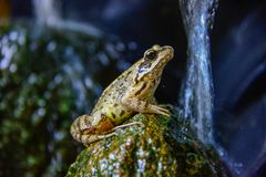 Toad Frog on a stone in pound stock photo