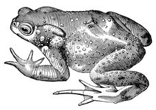 Toad frog vintage illustration. The common toad, vintage illustration. Sourced from antique book The Playtime Naturalist by Dr. J.E. Taylor, published in London Stock Photo