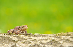 Toad frog Royalty Free Stock Photos
