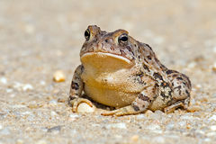 Toad. Front view of Toad sitting on a dirt road Stock Images