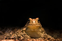 Toad Fun. Toad looking straight at camera.....funny Royalty Free Stock Photo