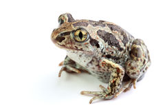 Toad with golden eyes on white Stock Images