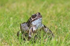 Toad on the grass Stock Photography