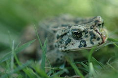 Toad in the Grass. Toad Stock Photo