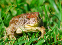 Toad in grass Royalty Free Stock Photo