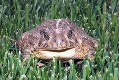 Toad in grass Stock Image