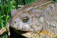 Toad in grass. A macro image of a toad in the grass on a sunny day Stock Images