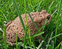 Toad in the grass. A brown toad with very bumpy, textured skin sitting in green grass royalty free stock photos