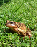 Toad in the grass. This toad has got the angry look though it was only shot by the camera royalty free stock photos