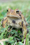 Toad in Grass Stock Photography