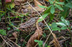 Toad in the grass Royalty Free Stock Photography